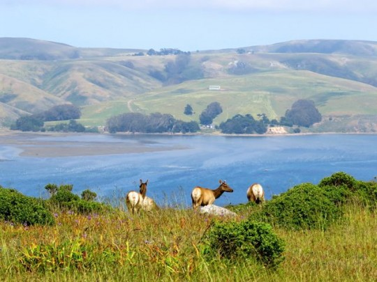 Tule Elk Overlooking Tomales Bay