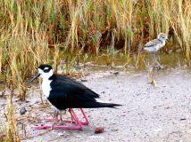 Black-necked Stilt and chicks