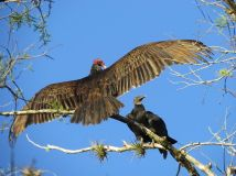 Turkey Vulture and Black Vulture