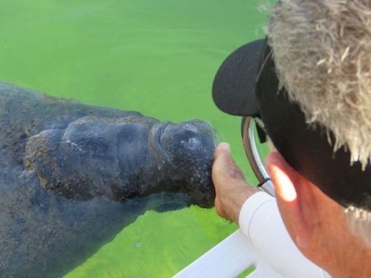 Curious Manatee In The Canal