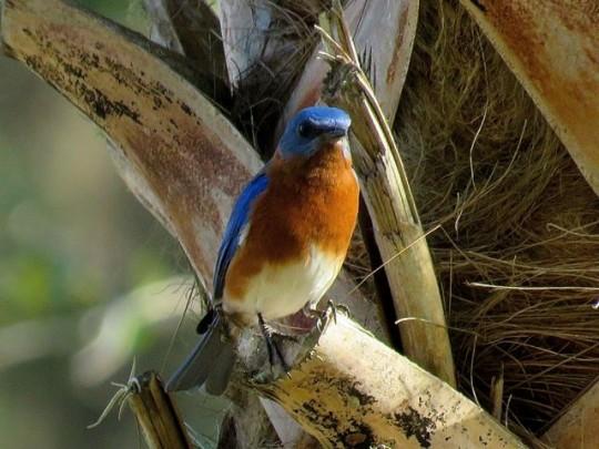 Eastern Bluebird On A Palm