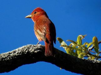 Summer Tanager, first year male