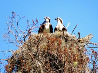 Spanish moss decorated osprey nest