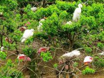 Nesting spoonbills and egrets