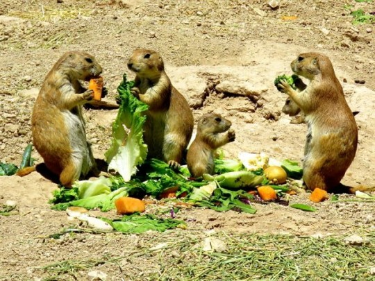 Salad Bar For The Prairie Dog Family
