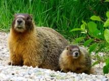 Mama and baby marmot