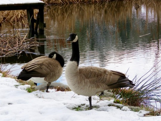 The Geese Don't Seem To Mind
