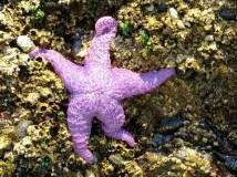 An ochre sea star, purple variety