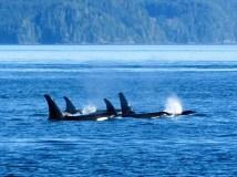 Orcas near Telegraph Cove, Vancouver Island, BC