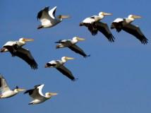 American White Pelicans, Florida