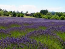 Lavender Fields, San Juan Island, Washington