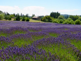 Lavender Fields, San Juan Island, Washington