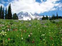 Wildflowers at Mt. Rainier National Park, Washington