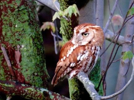 Eastern Screech Owl male, rufous morph