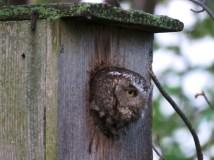 Eastern Screech Owl female, gray morph