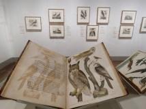 Exhibit of Alexander Wilson's bird drawings