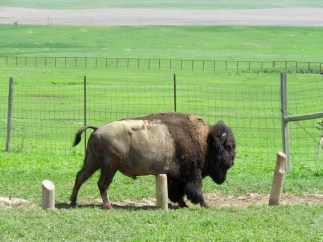 Bison scratching his belly