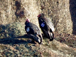 California Condors, each one wears a wing badge