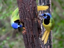 Green Jays getting a peanut butter snack