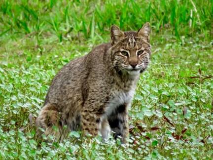 Bobcat, Okefenokee Swamp, Georgia