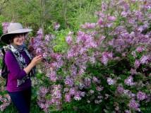 Lilacs at the Nichols Arboretum