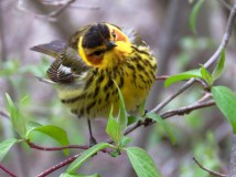 Cape May Warbler, Maumee Bay SP, Ohio