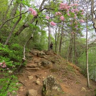 Wild azaleas on the hiking trails