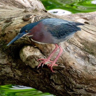 A Green Heron intent on fishing
