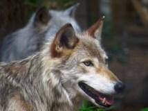 Wolves at the refuge
