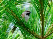 A Boreal Chickadee. We've seen five of the seven species of chickadees in our travels.