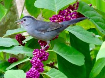 The catbirds stripped our beautyberry shrubs in a week