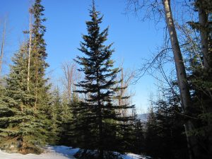 Happy Land for Fishers in a cottonwood-birch-spruce ecosystem
