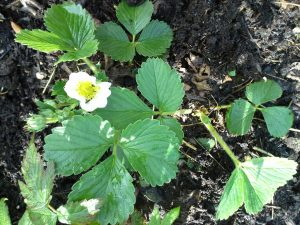 Strawberries love compost.