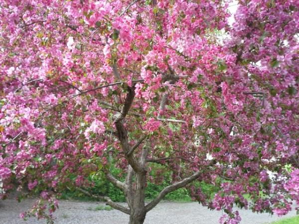 Crab Apple Tree in Full Bloom