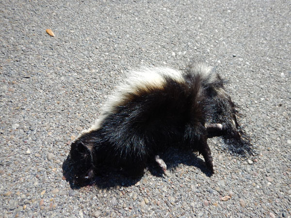 Seeing road killed skunks with different colour patterns and wondering about what mustelid species (members of the weasel family) motivated me to do an Internet search to