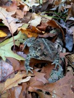 Toad on the trail in November 2015!