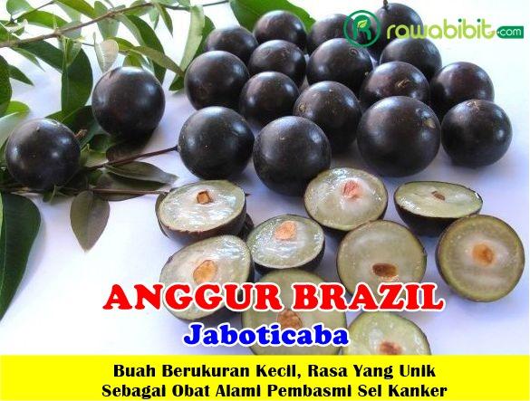 Jual Bibit Anggur Brazil / Jaboticaba