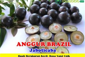 Anggur Brazil Unggul