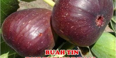 Buah Tin Purple Jordan Unggul