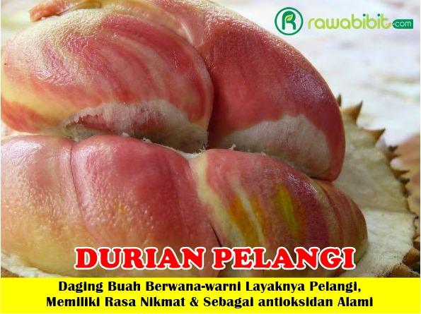 Bibit Durian Pelangi Manokwari