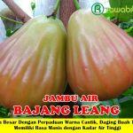 Jual Bibit Jambu Bajang Leang