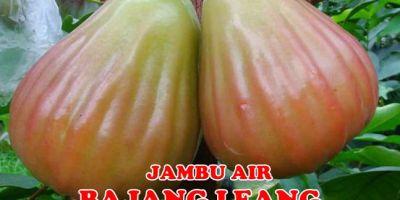 Jambu Air Bajang Leang Unggul