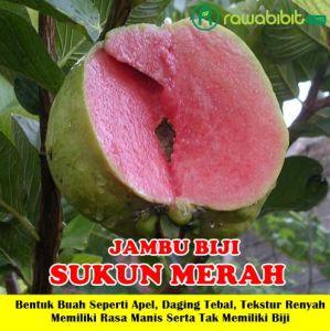 Jambu biji sukun merah Unggul