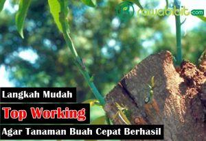 Top Working Tanaman Buah
