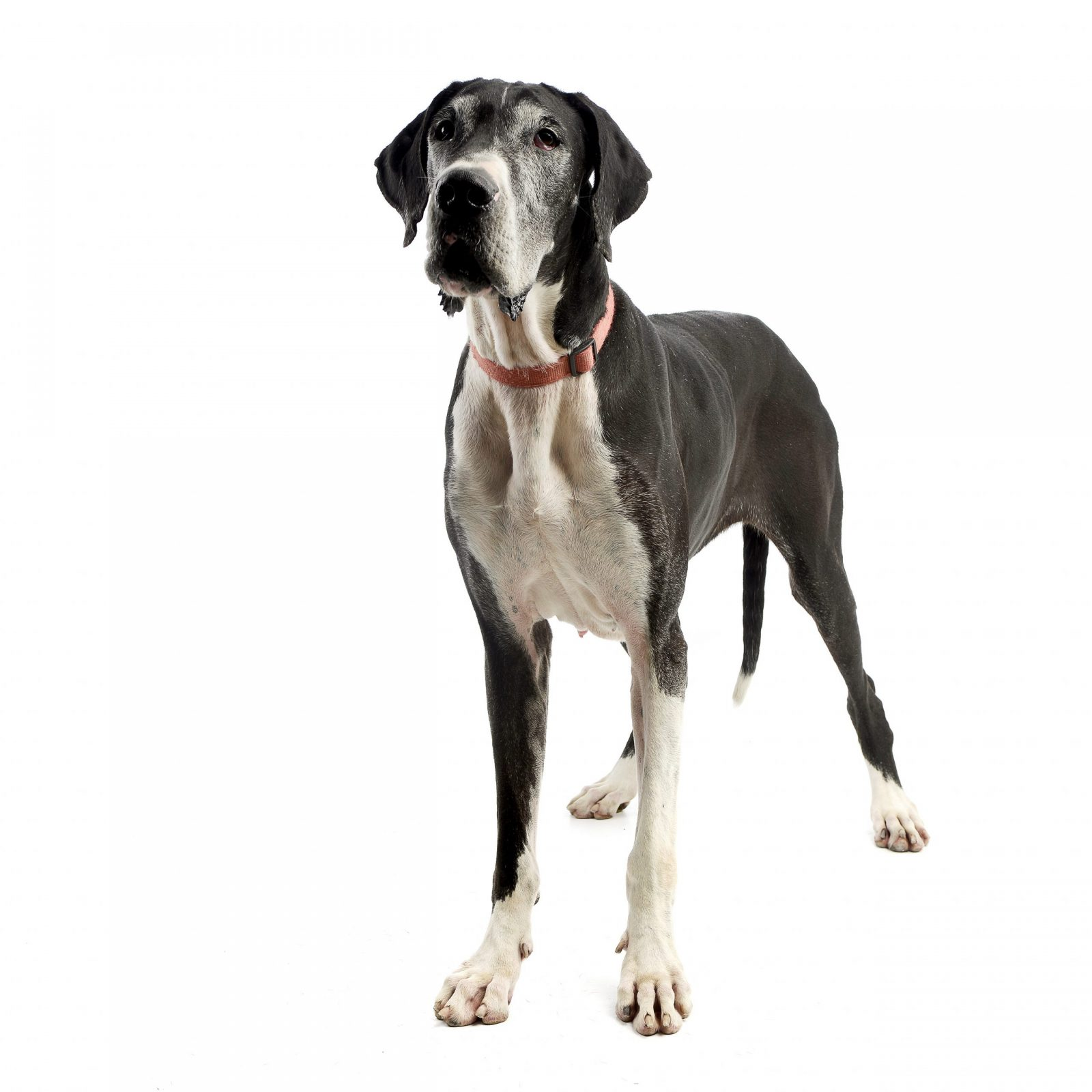 Studio shot of an adorable Great Dane dog standing on white background.