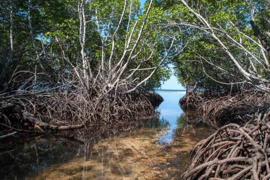 mangrove forest, Nusa Lembongan
