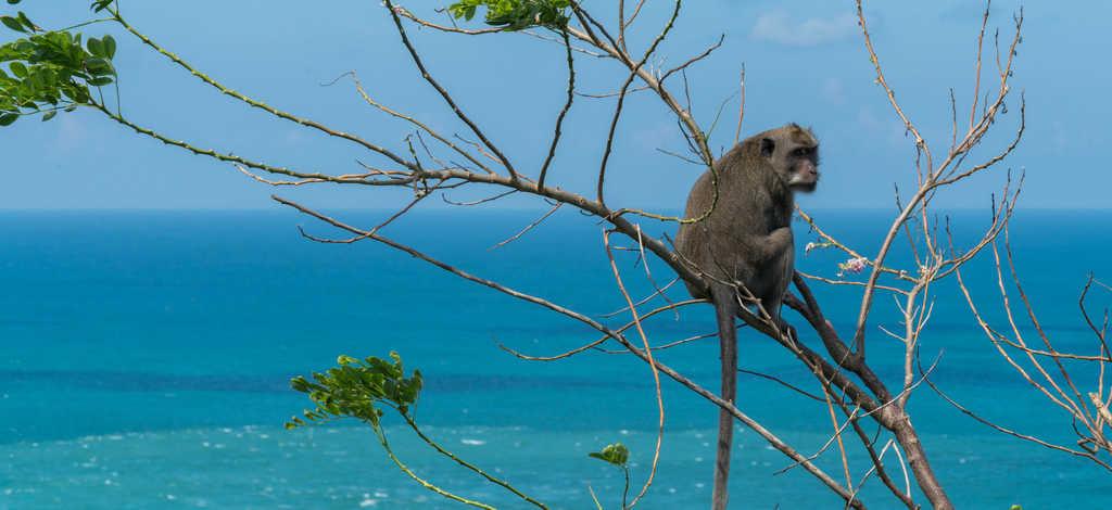 Monkey at Green Bowl Beach