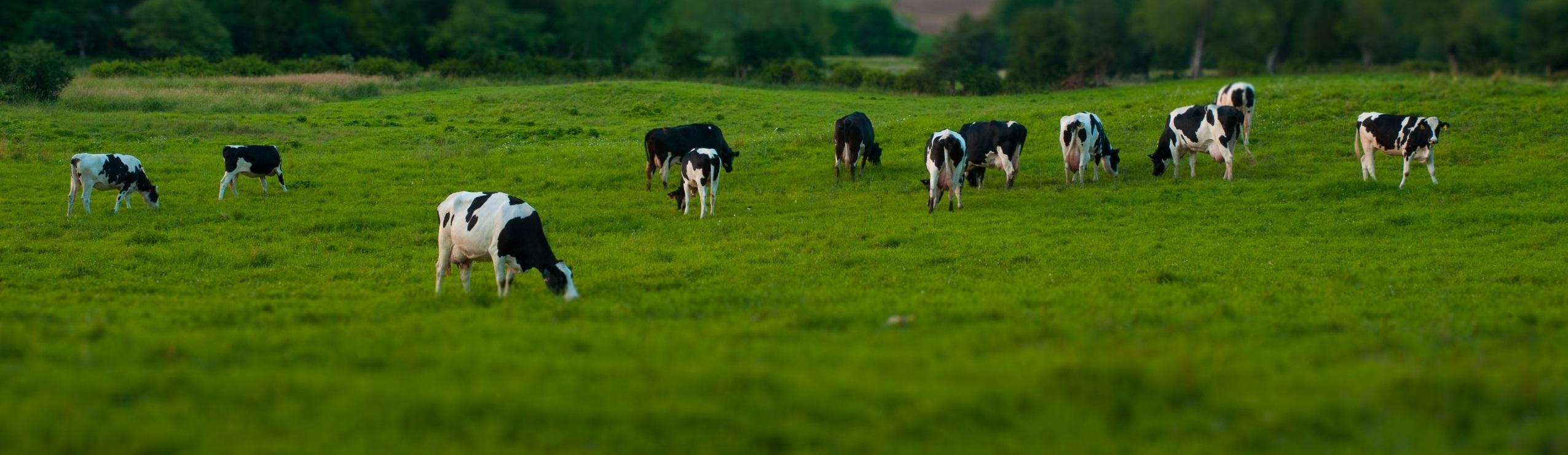 Raw Milk. Grass Fed Cows