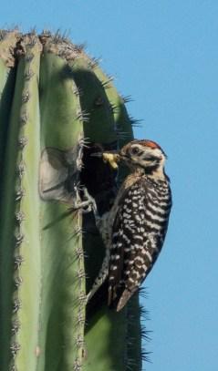 Ladder-backed Woodpecker male