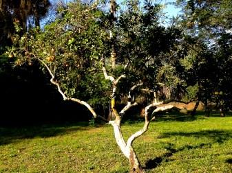 """Breakfast Tree"" Grapefruit every day"
